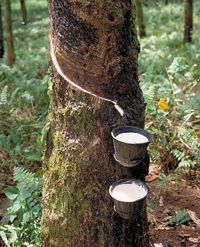 rubber tree 1